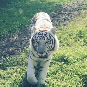 Tiger at Casela Safari Park