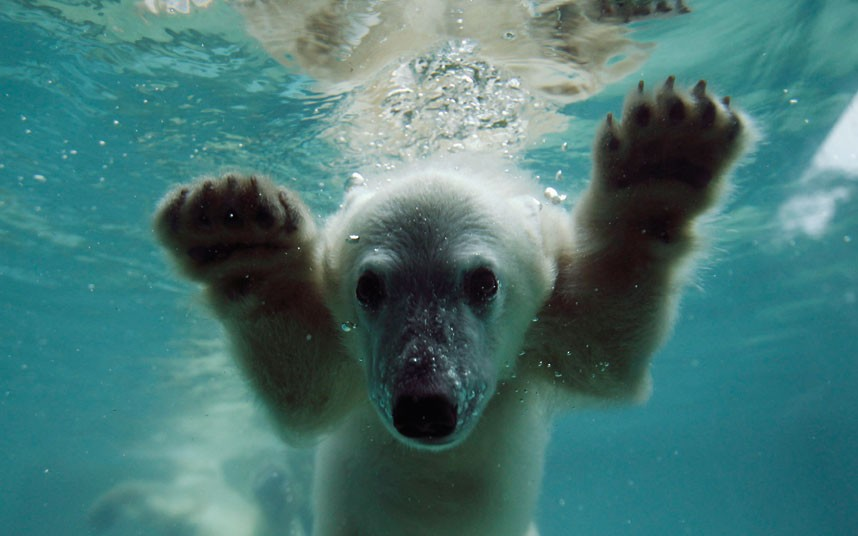 polar-bear-underwa_2241473k