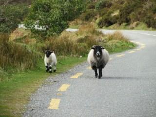Moutons sur la nationale!