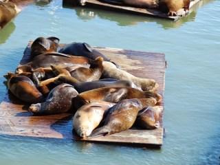 Lions de mer sur des pontons dans Fisherman's Warf