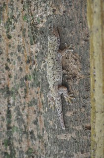 Gecko - Ile Cousin