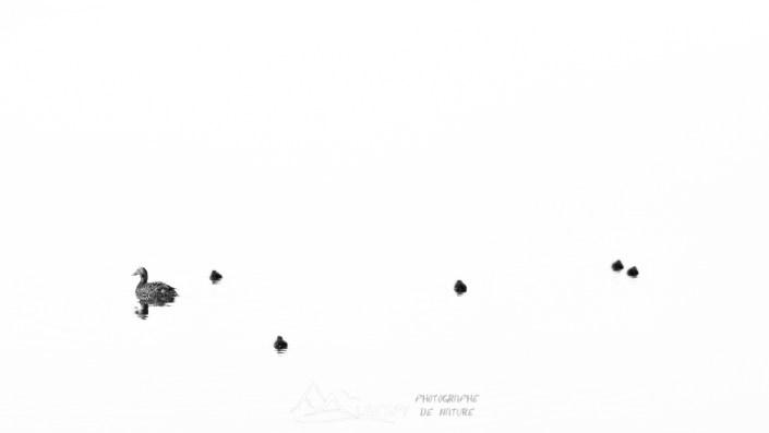 Eider à duvet (Somateria mollissima - Jökulsárlón) n°0727
