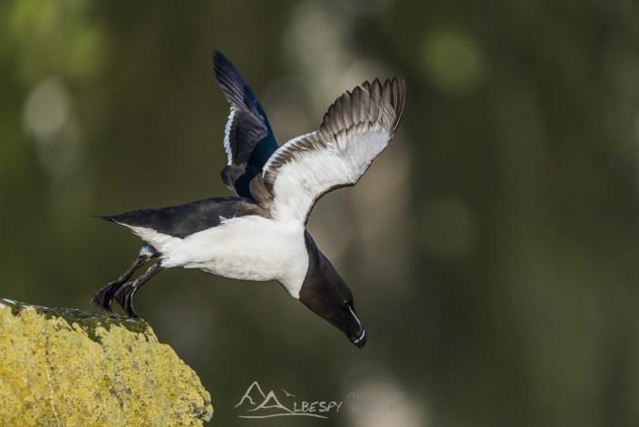 Pingouin torda (Alca torda - Falaises de Látrabjarg) n°0709