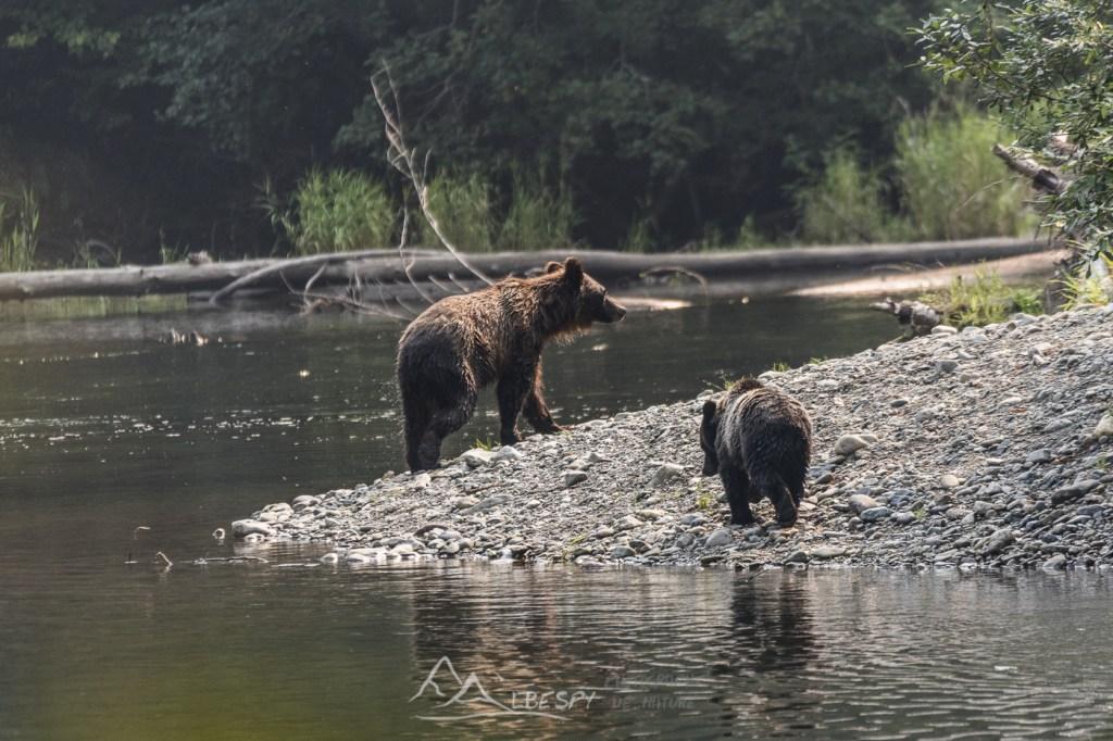 Grizzly, ourse et son petit (Ursus arctos horribilis - Colombie Britannique) n°0510