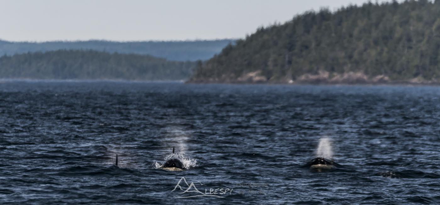 Orques (Orcinus orca - Île Vancouver - Colombie Britannique) n°0523