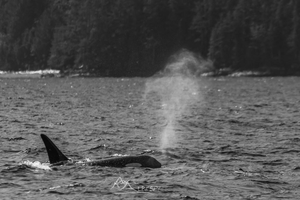 Orque (Orcinus orca - Île Vancouver - Colombie Britannique) n°0522