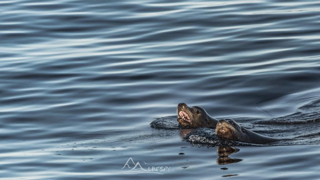 Lion de mer de Californie (Zalophus californianus - Île Vancouver - Colombie Britannique) n°0518