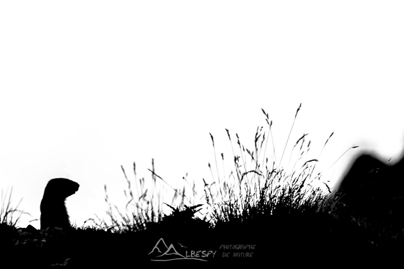 Marmotte des Alpes (Marmota marmota - Parc National du Mercantour) n°0311