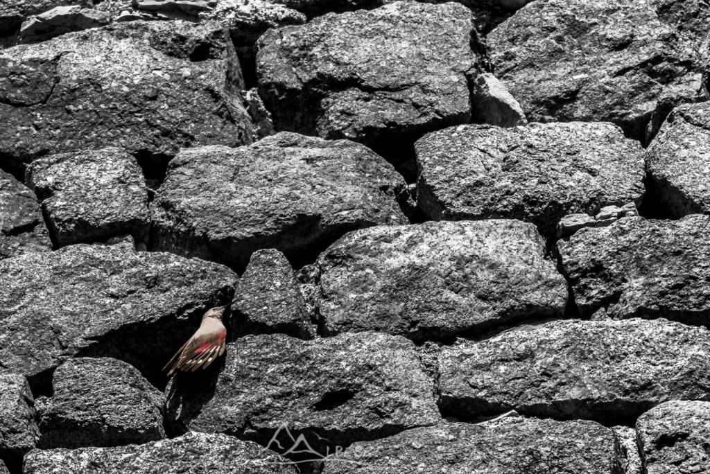 Tichodrome échelette (Tichodroma muraria - Peyrusse le Roc) n°0114