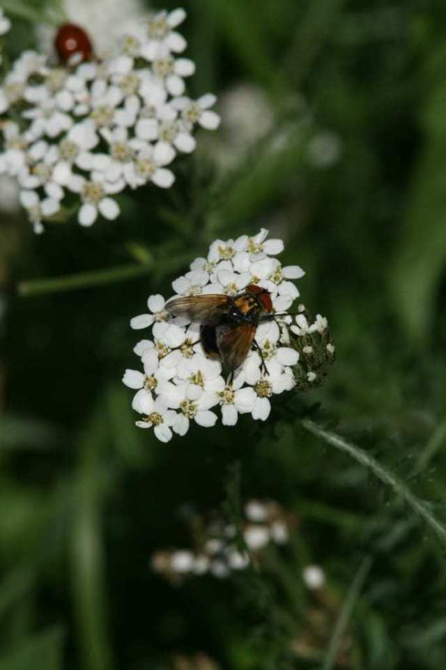 Snylteflue (Foto: Naturhistorisk Museum )