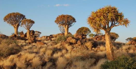 Arbres-carquois menacés de disparition, Namibie, Afrique. Photo : Sara & Joachim flickr CC