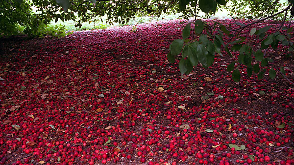 Crabapples, photo by Fred Hatt, 2006
