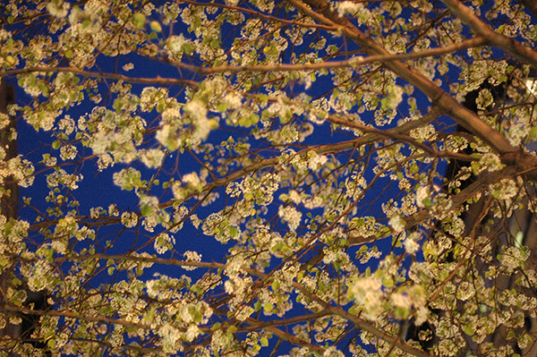 Night Blooms, 2006, photo by Fred Hatt