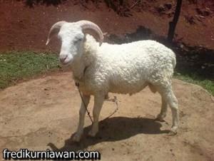 kambing gibas