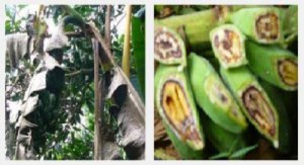 hama dan penyakit pada tanaman pisang