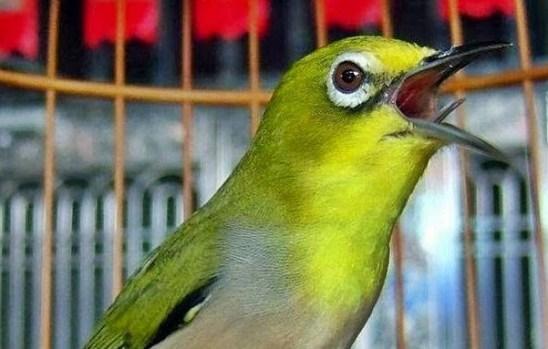 cara mengatasi burung pleci stres gacor kembali