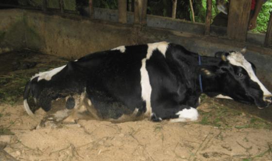 Penyakit milk fever pada sapi perah