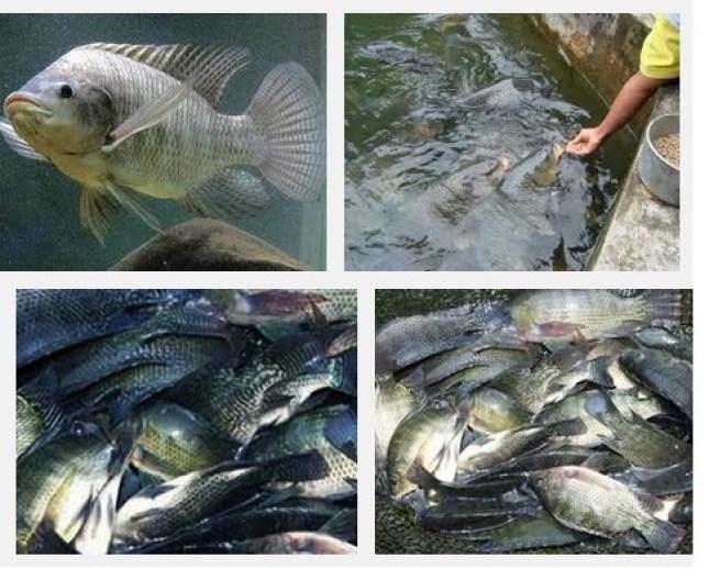 Pemeliharaan induk ikan nilai dengan mudah