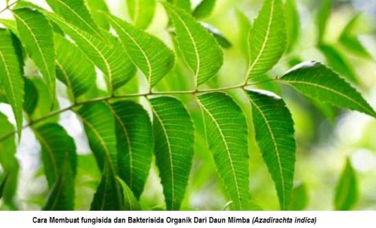 cara membuat fungisida dan bakterisida dari daun mimba
