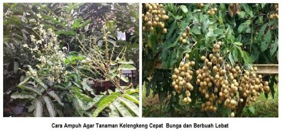 Cara ampuh agar tanaman kelengkeng cepat berbunga dan berbuah lebat