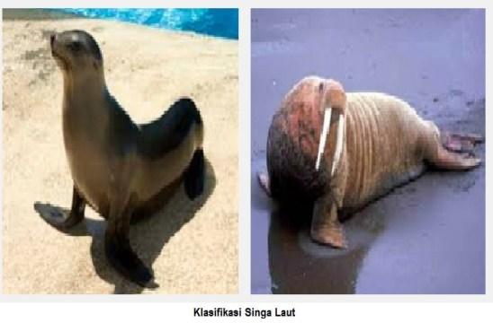 klasifikasi singa laut