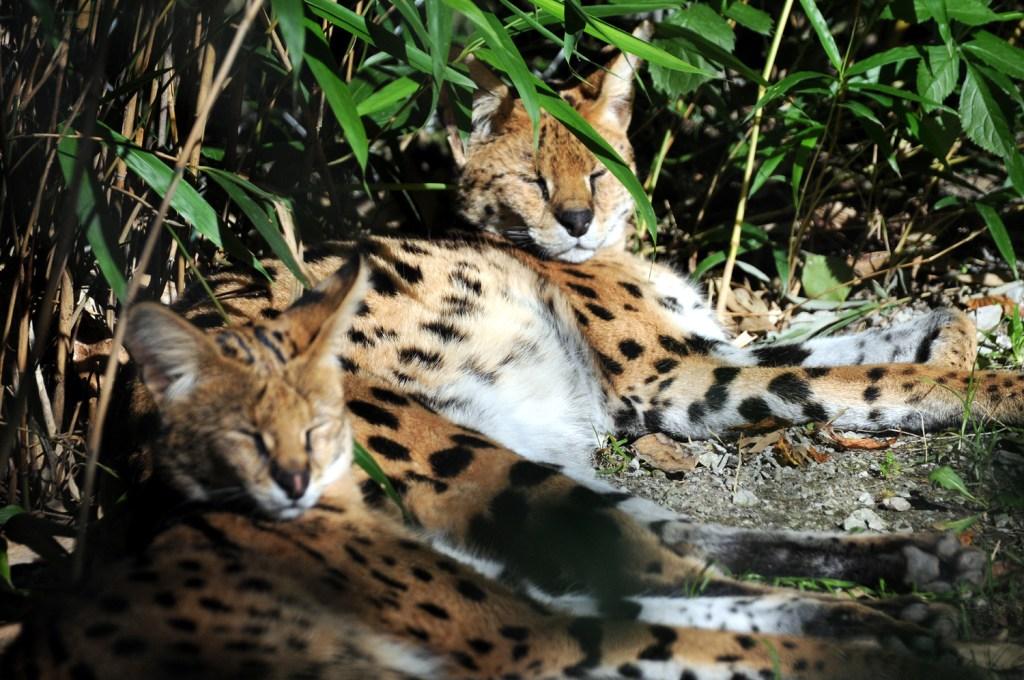 Serval frères