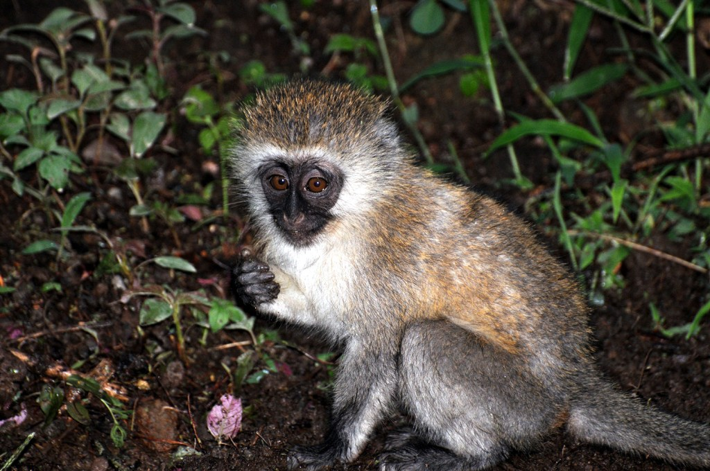 Small monkey from Kenya