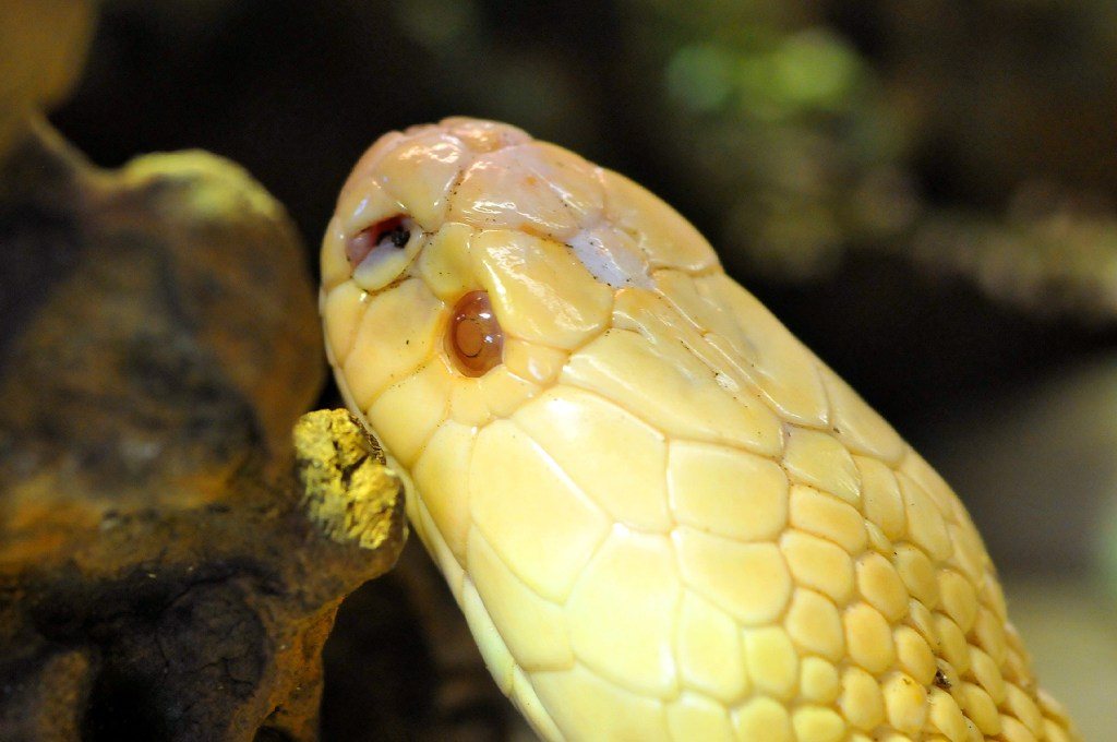 Yellow snake head