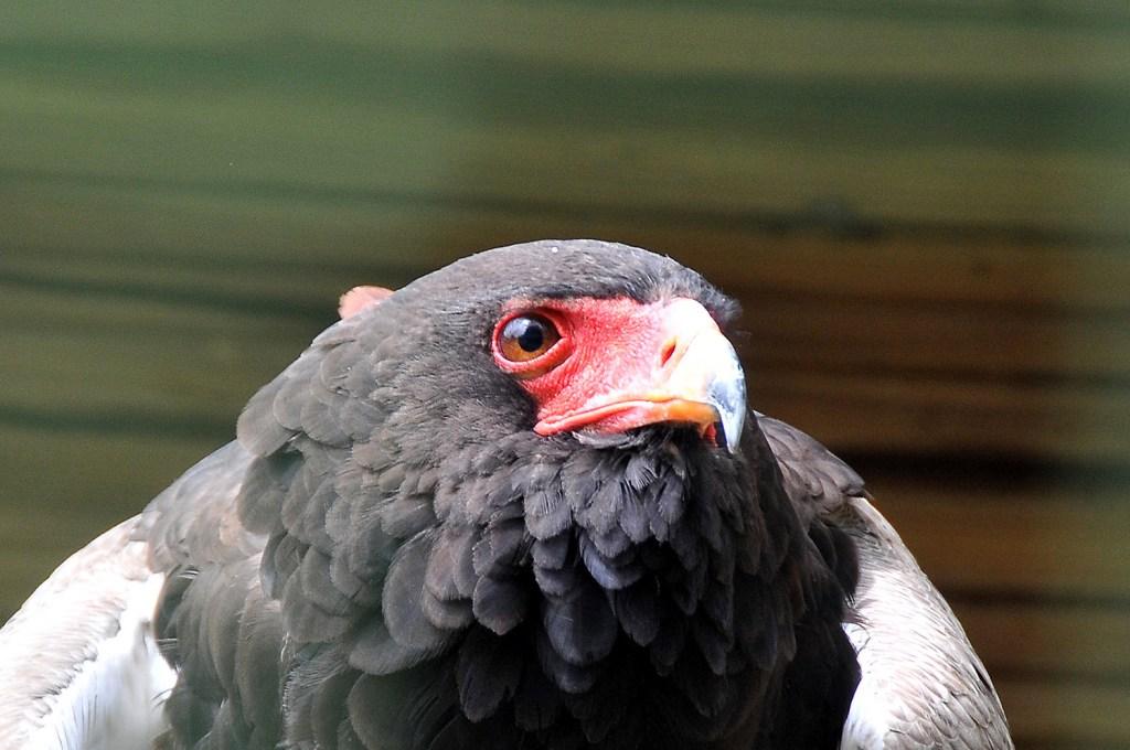 Red-eye eagle