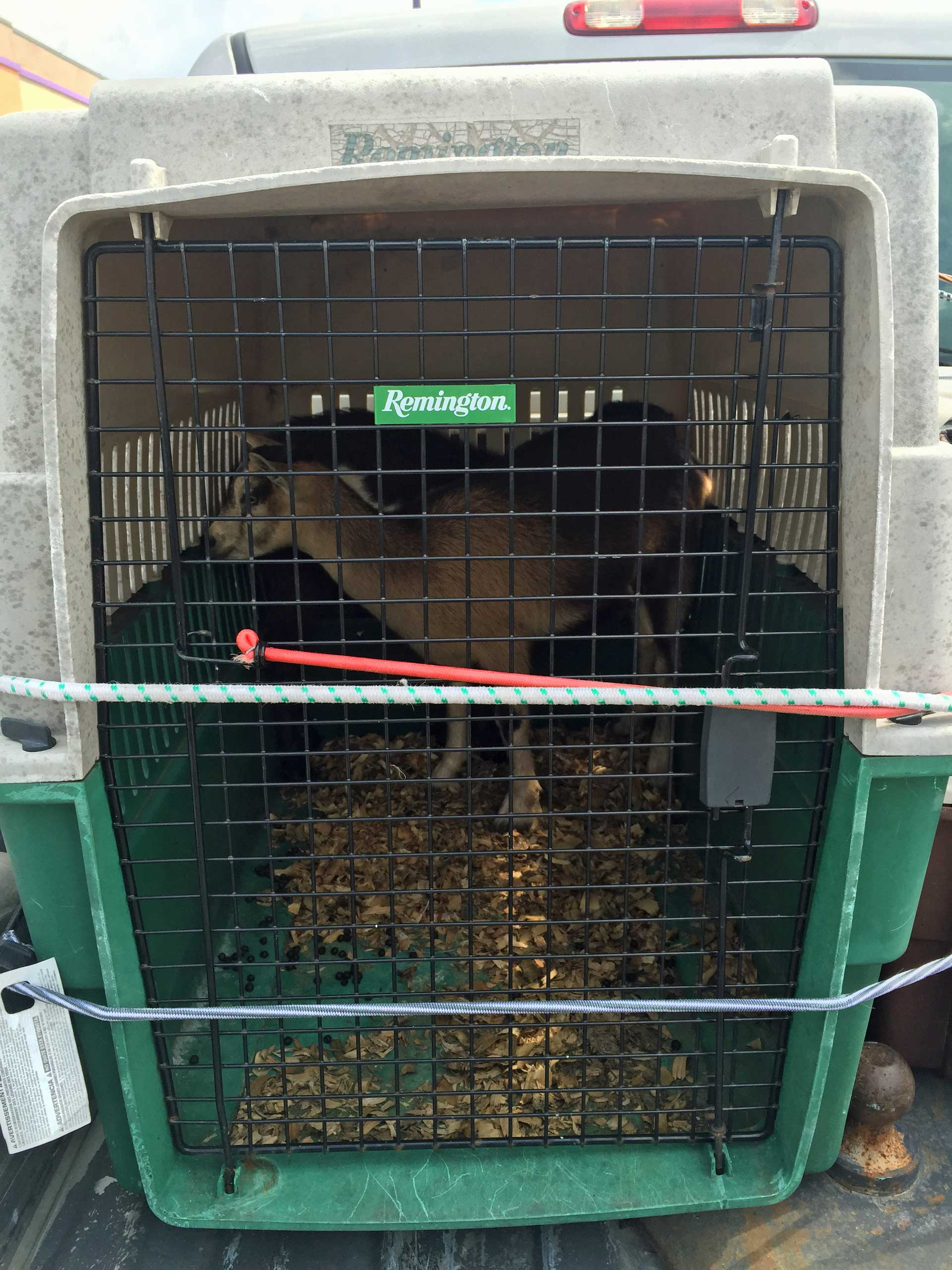 goats-in-crate