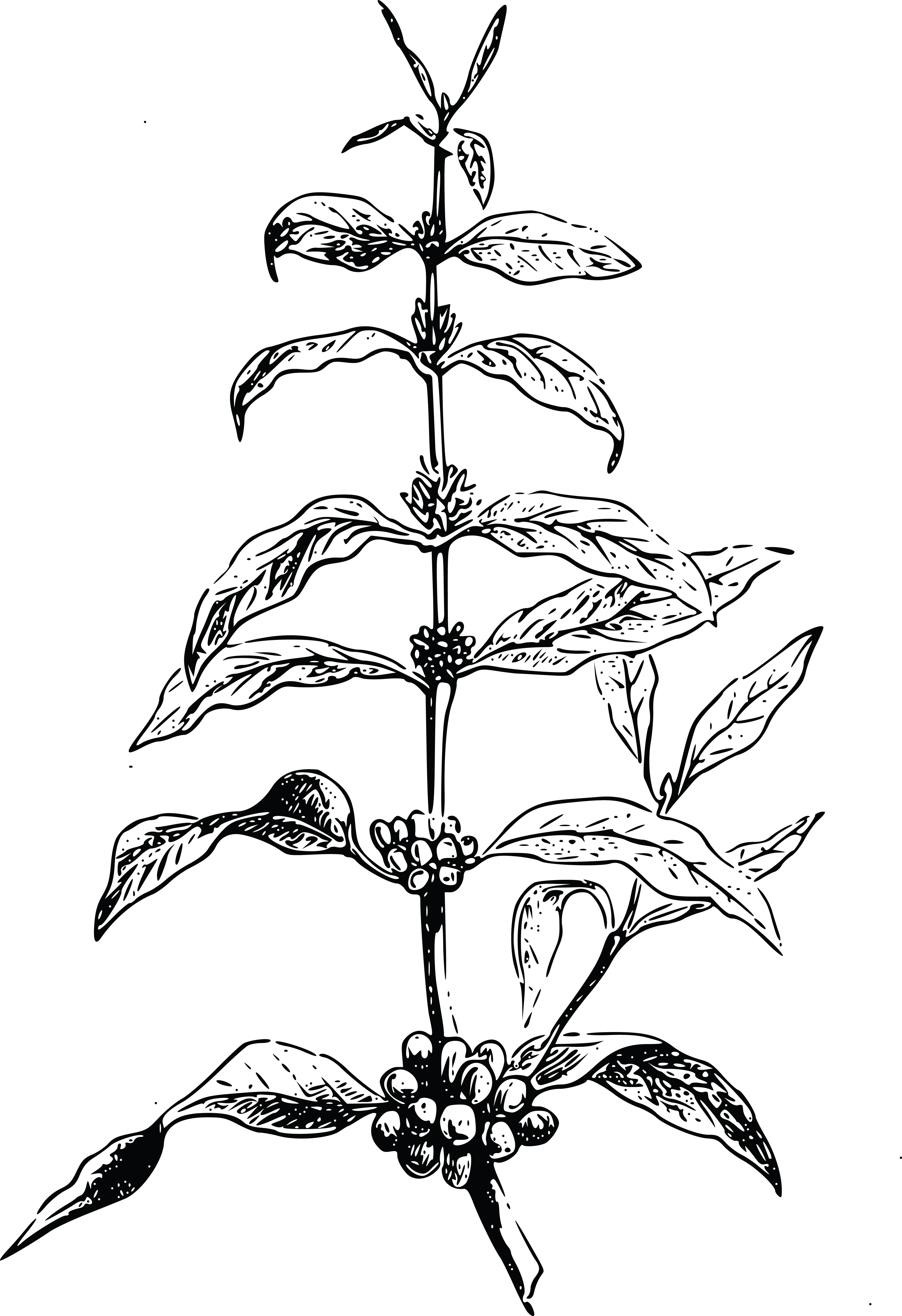 Free Clipart Of A Coffee Bean Plant