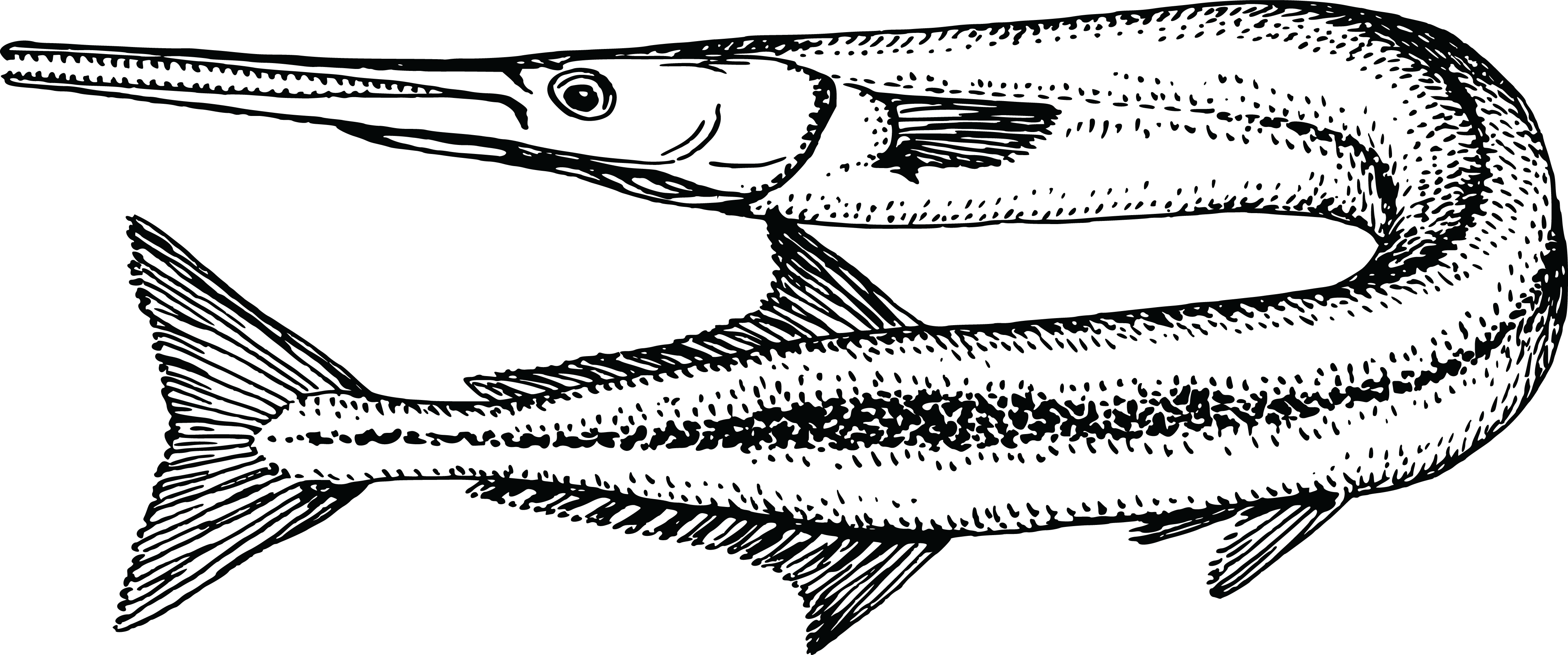Free Clipart Of A Garfish