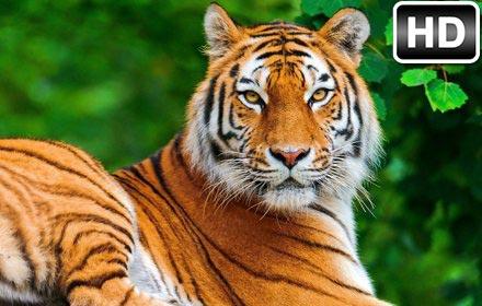 Tiger Wallpaper HD New Tab Tigers Themes Free Addons