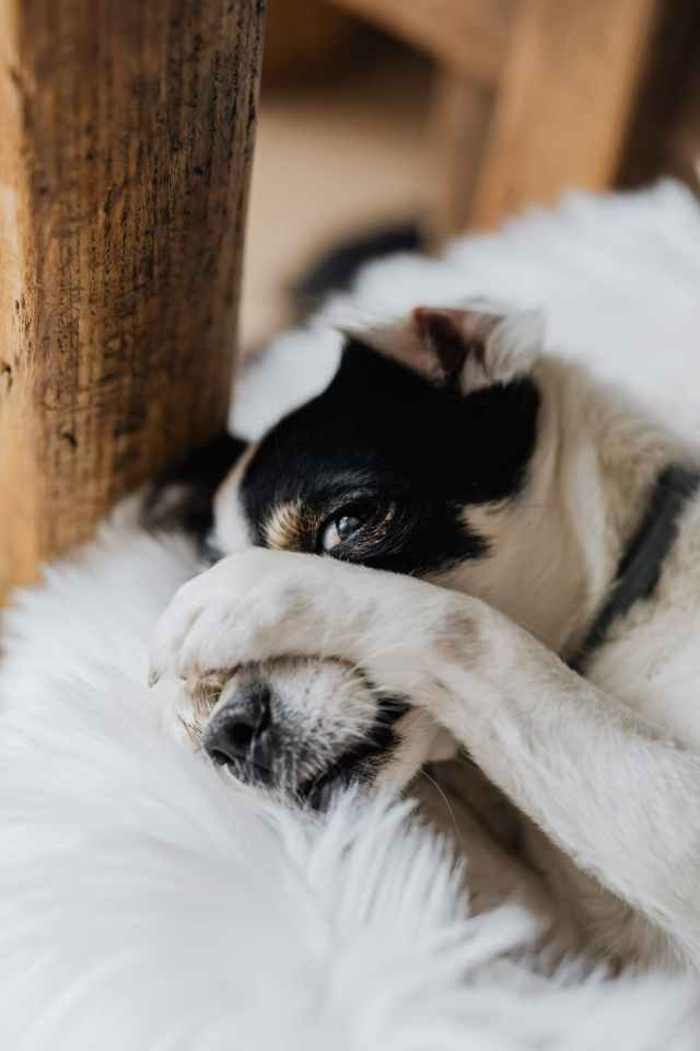 funny rat terrier with paws on head