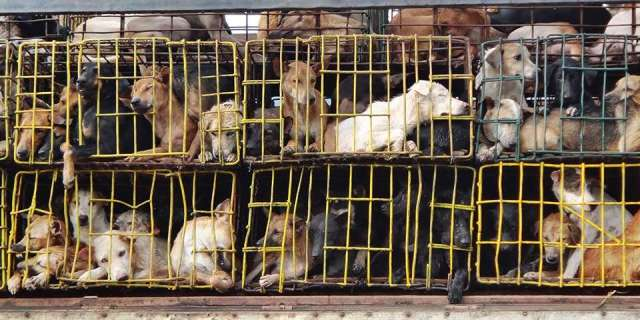 Animals, especially dogs, are annually killed for meat trade.