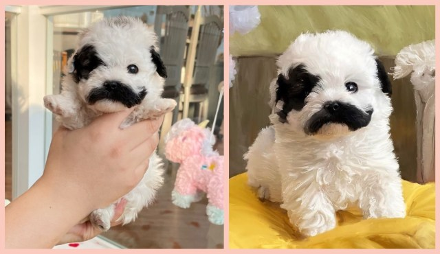 Pringles, a white Maltipoo with black fur just above his mouth. Cute puppy