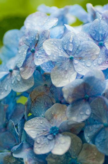 雨に濡れた紫陽花の花びらを撮影したフリー写真素材