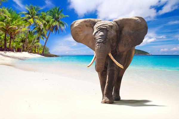 Beach Walking Elephant Stock Photo Animal Stock Photo