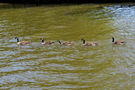 Geese - River - Windsor