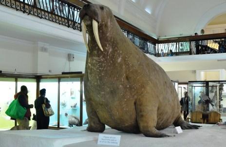 Horniman Museum - Walrus