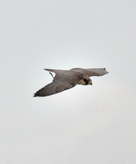 Peregrine Falcon Flying DSC_0945