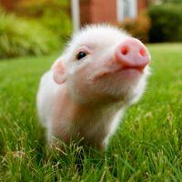 7 faits que vous ignorez au sujet des cochons