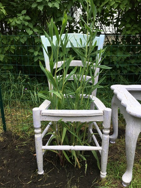 Chair with Boltonia asteroides, detail of Room to Grow, June 30, 2019.  Native plants, cast-off furniture, spackle, house paint, marine varnish. Freedom Baird