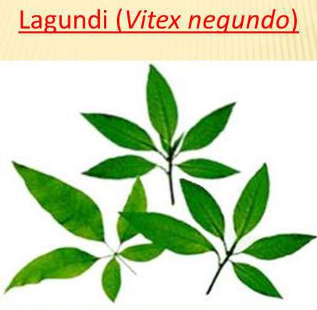 lagundi benefits and treatment