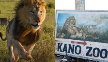 Kai tsaye: Har yanzu ba'a kama Zakin da ya kubuce ba