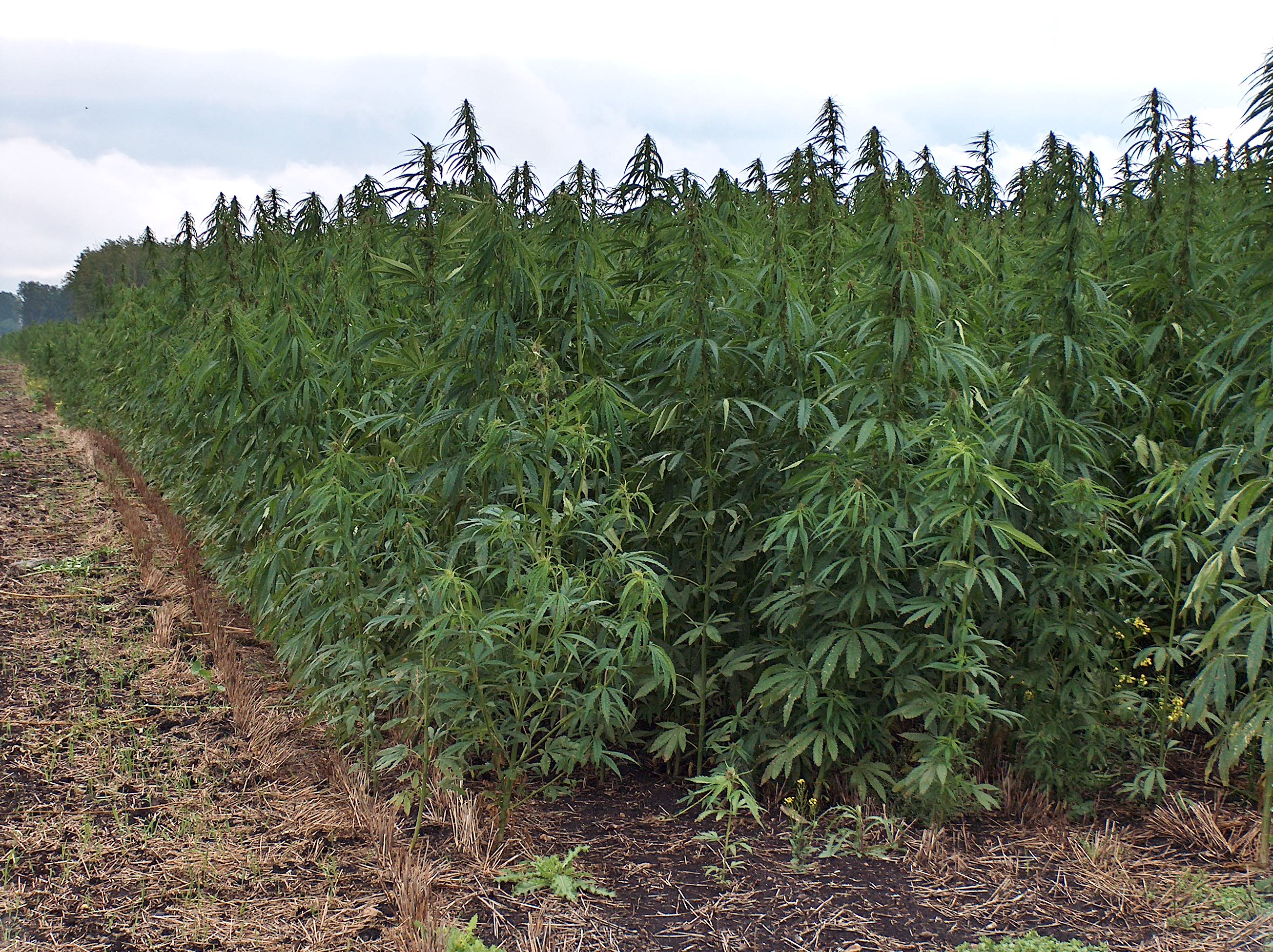 Industrial hemp has the potential to positively impact the lives of Americans more than either recreational or medical uses of cannabis.
