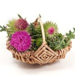 A basket containing milk thistle.