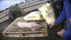 East Anglian Pig Company investigation