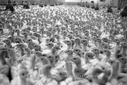 Turkey Farm. Shed containing 18,000 turkey chicks, mainly for export to Germany. Photo Jan van IJken