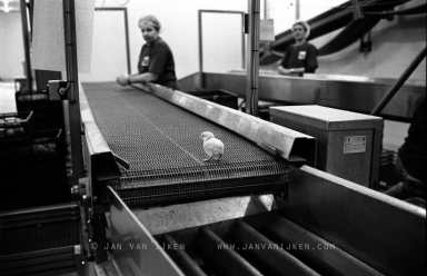 Poultry Farm. Chick on a conveyor belt. The chicks are sorted by hand for defects and counted automatically. Photo Jan van IJken